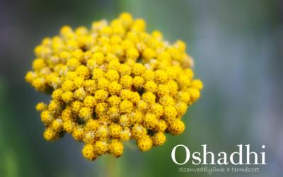 Olasz szalmagyopár – Helichrysum italicum